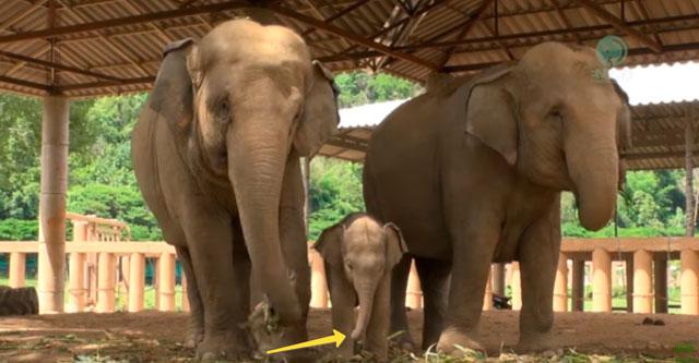 Слоненок учится пользоваться хоботом