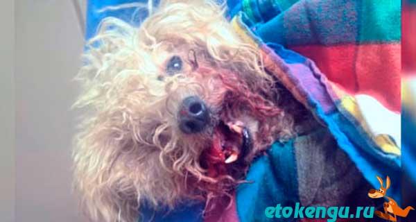 Пёс был приманкой для бойцовских собак