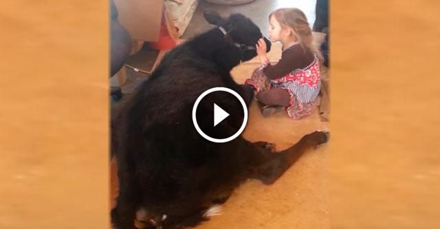 Девочка впустила в дом теленка