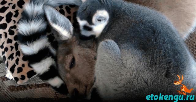 Лемур укладывает кенгуру спать