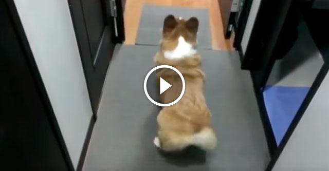 Корги танцует сальсу