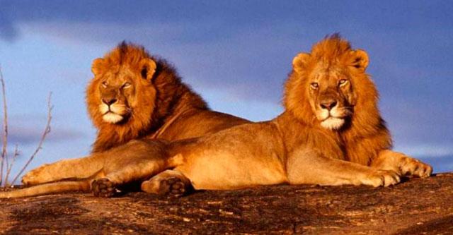 Львы спасли девочку