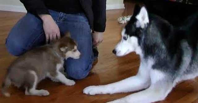 Собаки знакомятся с щенком