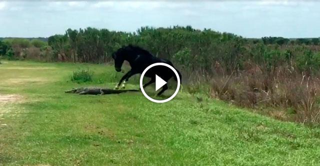 Конь набросился на аллигатора