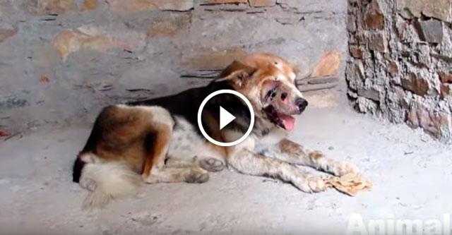 Спасение пса, которого поедали личинки
