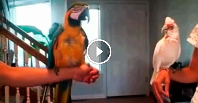 Танцевальная битва попугаев