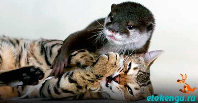 Дружба кошки и выдры