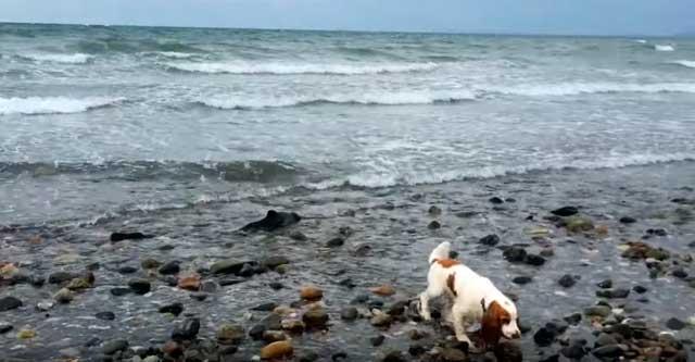 Собака спасла дельфиненка