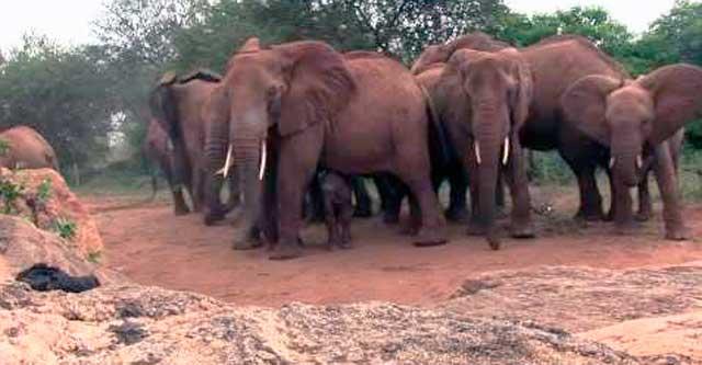 Реакция стада слонов на рождение слонёнка
