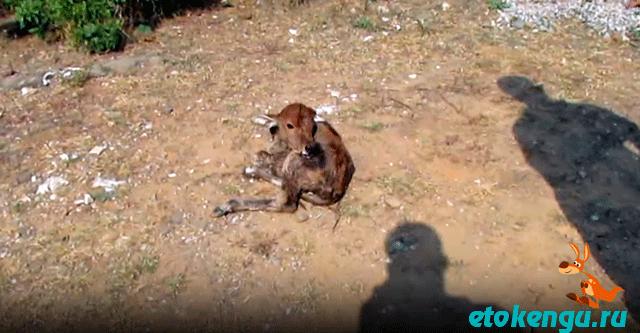 Владельцы завода выбросили телёнка