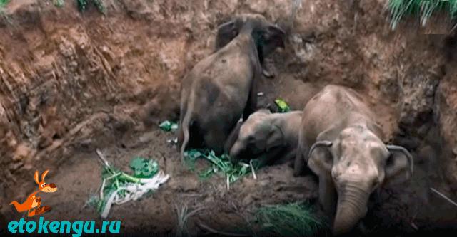 Вся деревня вытаскивала слонят из ямы